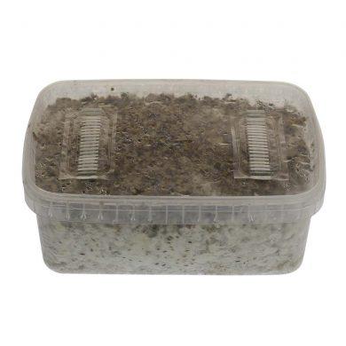 B+ Psilocybe Amplus Magic Mushroom Grow kit (Medium - 1200cc)