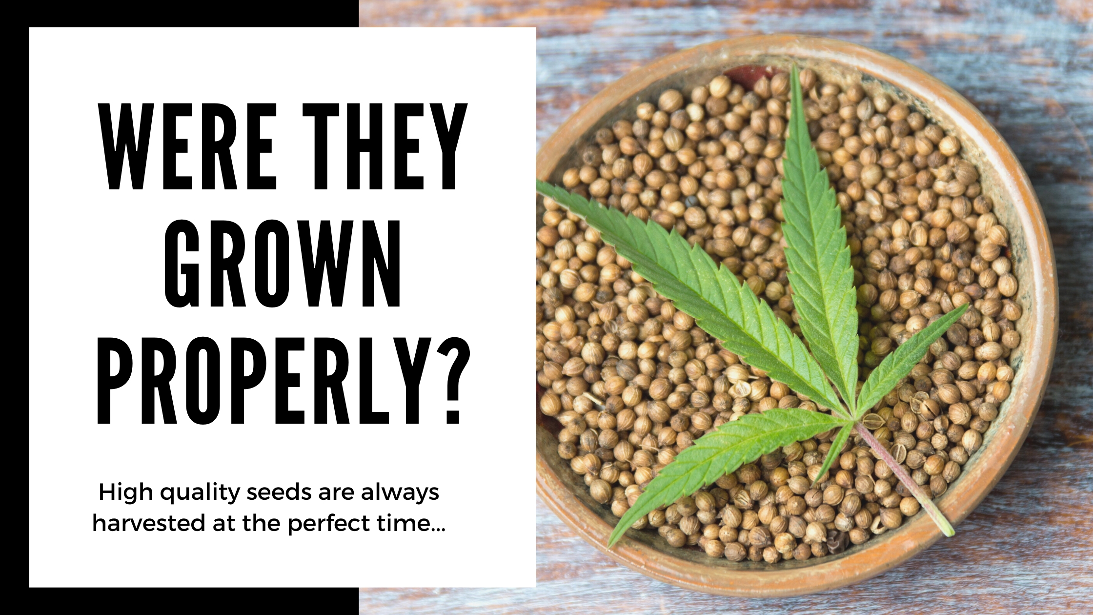 how to know if your cannabis seeds are quality