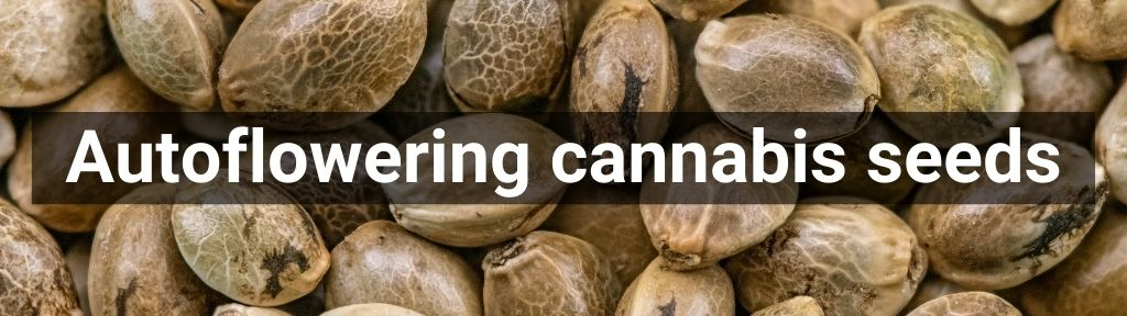 ✅ All high-quality Autoflowering cannabis seeds from Smartific.com