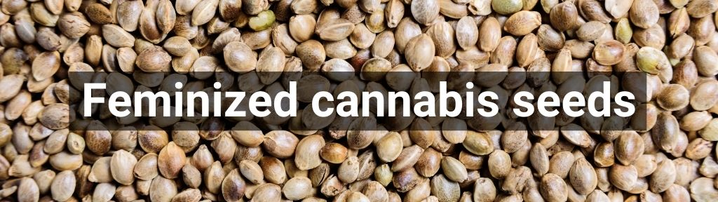 ✅ All high-quality Feminized cannabis seeds from Smartific.com