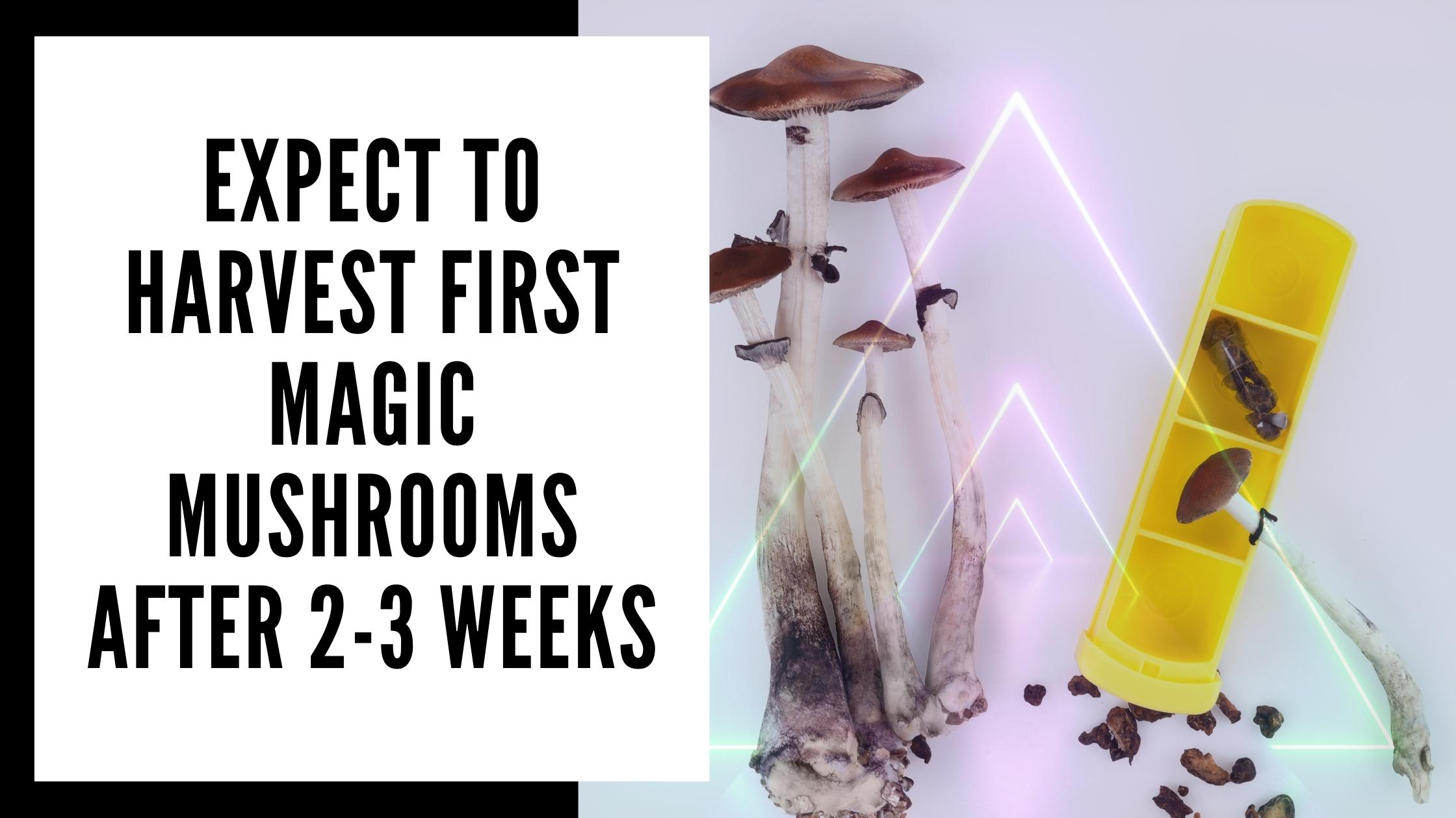 when to harvest mushrooms from your Magic Mushroom Grow Kit